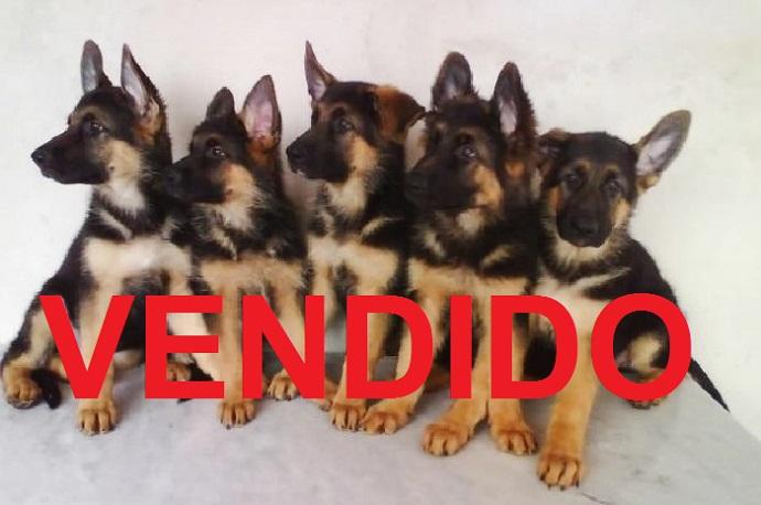 Favoritos Compra e venda de filhotes & venda de cachorros, na Casa da Ração  DY09