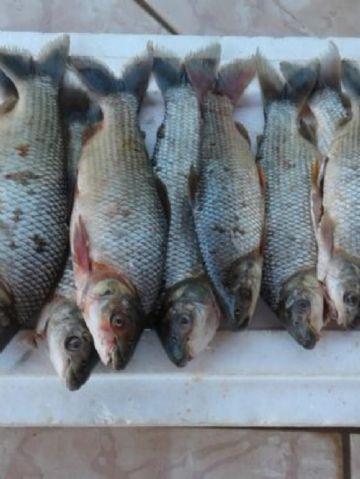 PMA prendeu campo-grandense que transportava pescado capturado fora da medida permitida por lei